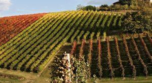 Romagna's vineyard